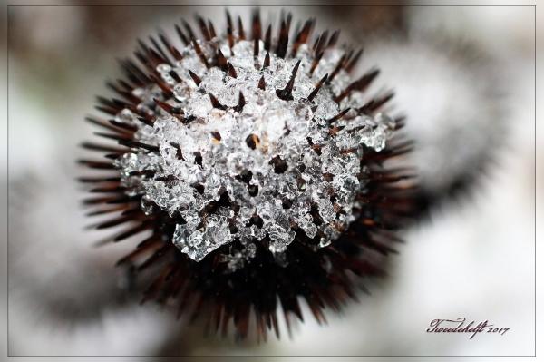 uitgebloeide echinacea met sneeuwresten