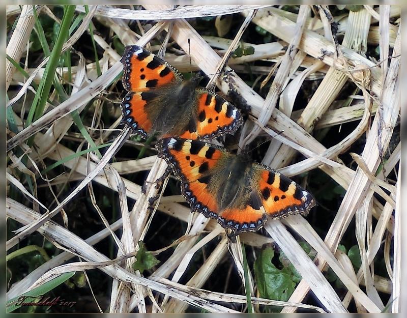Vlinder halrf maart