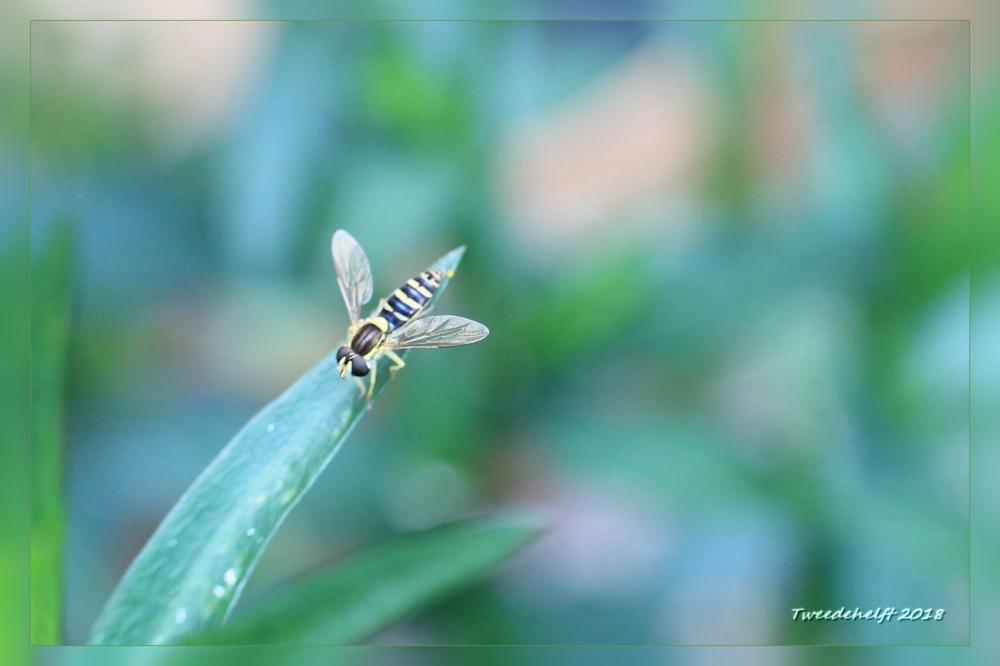 zweefvlieg op zoek naar luizen