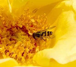 zweefvlieg op roos