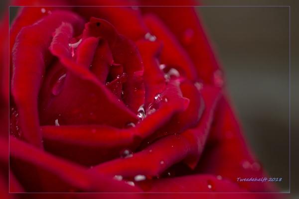 roos met regendruppels