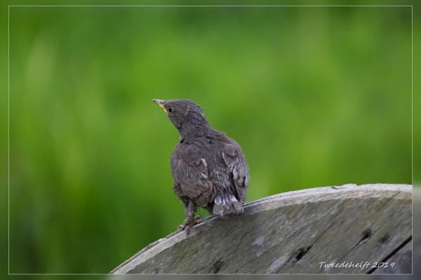 spreeuw net uit het nest