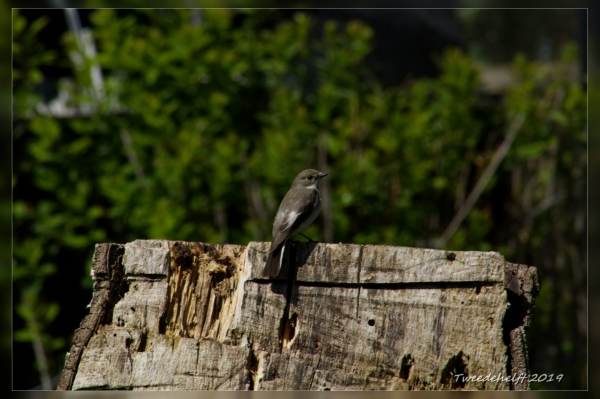 Vr. bonte vliegenvanger, broedt in neskastje