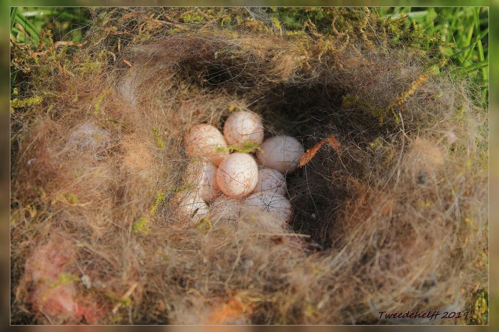 resten uit nest koolmezen.