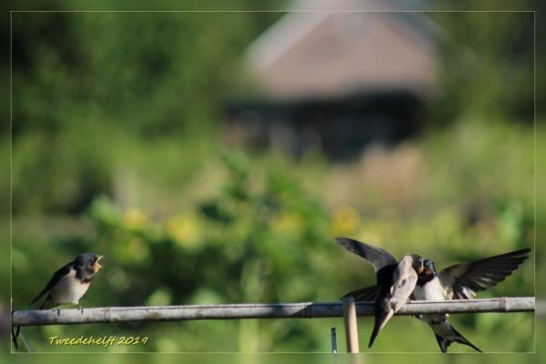 zwaluwen op bonenstokken worden gevoerd