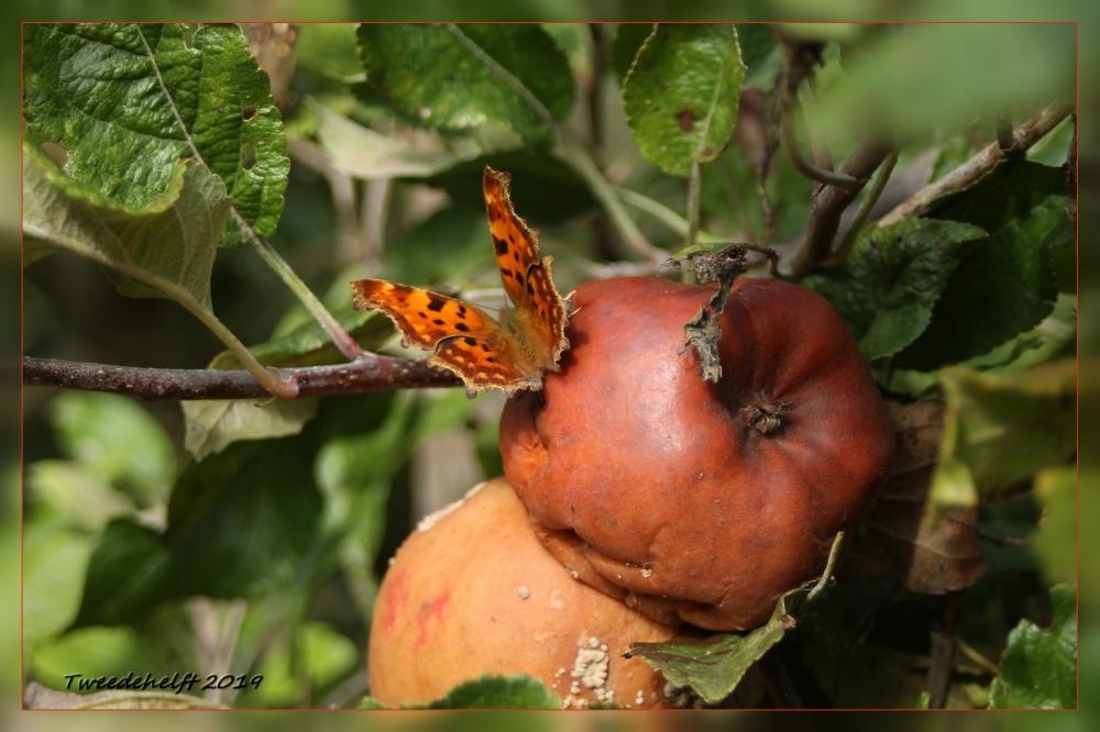 vlinder op rottende appel