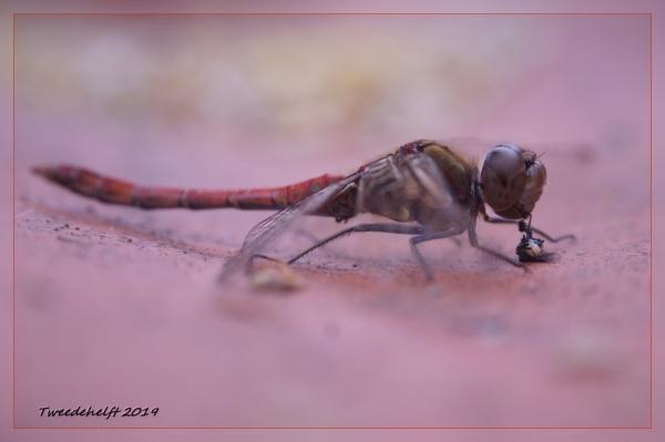 libelle met prooi laat het rustig zien