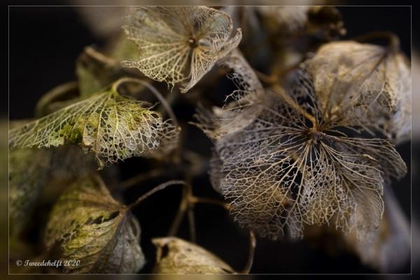 vergane hortensiabloem laat nog een geraamte na