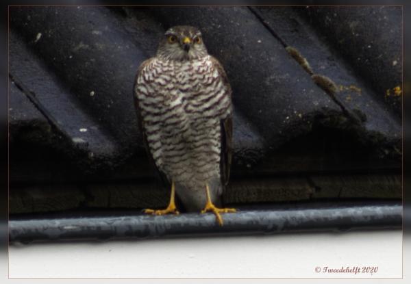 sperwer op dak na mislukte aanval op spreeuwen