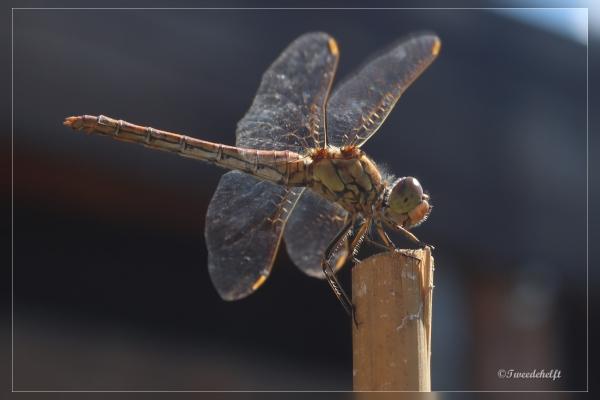 vrouwtje bloedrode heidelibel