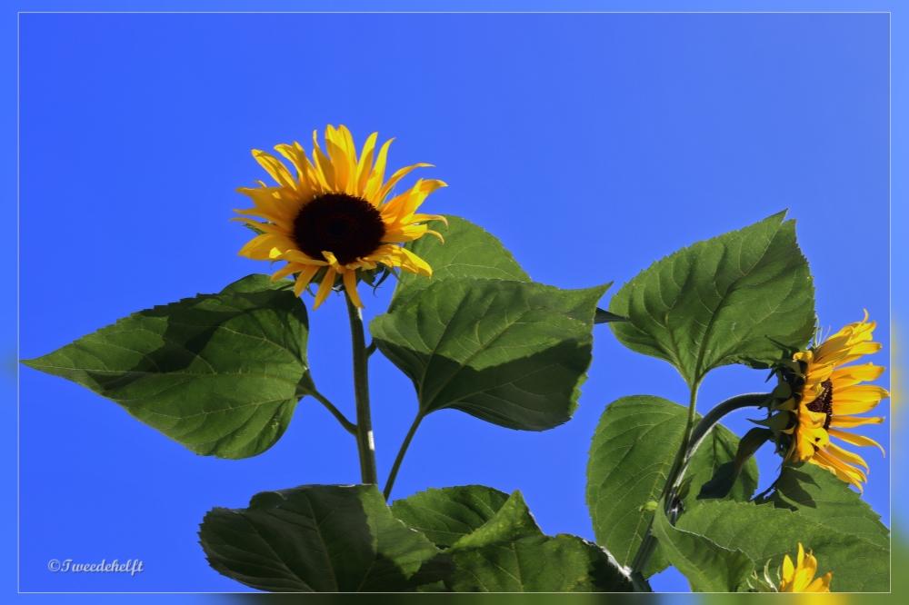 Zonnenbloem in de achtertuin