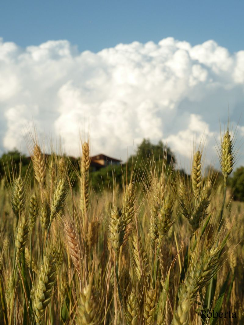 wheat and clouds in the countryside