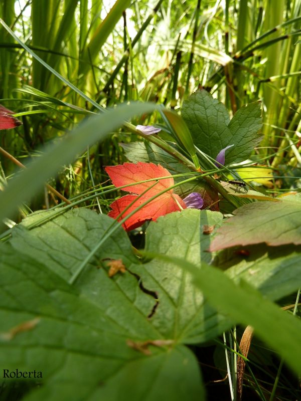 a red leaf among green ones