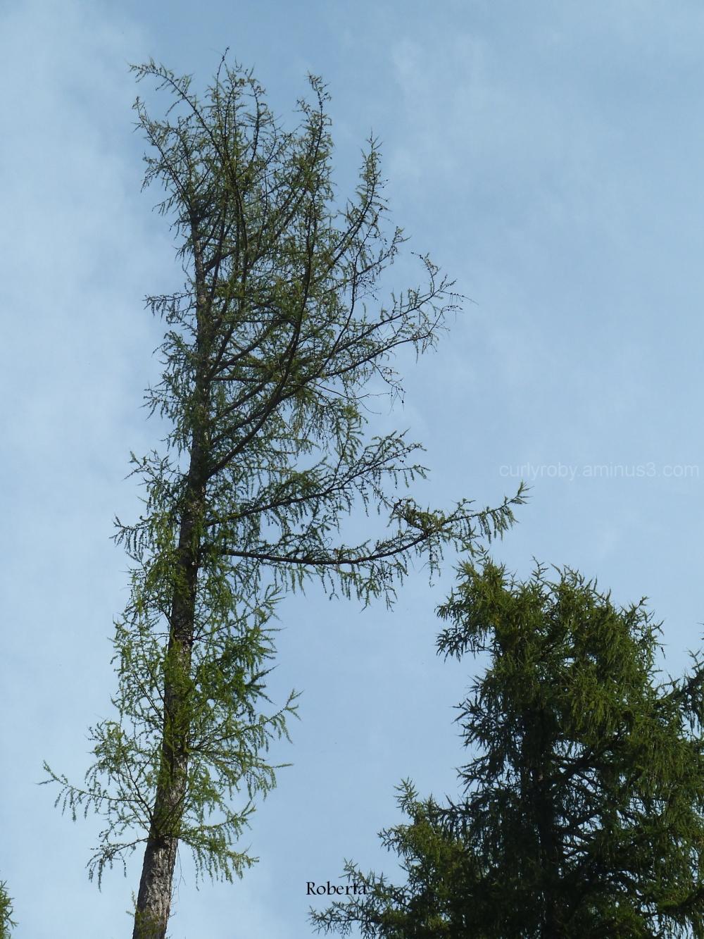 plant larch sk