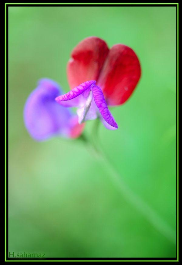 NOKHODI FLOWER