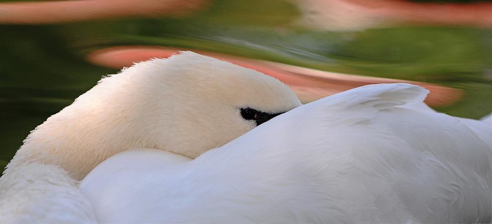 Swan song 1