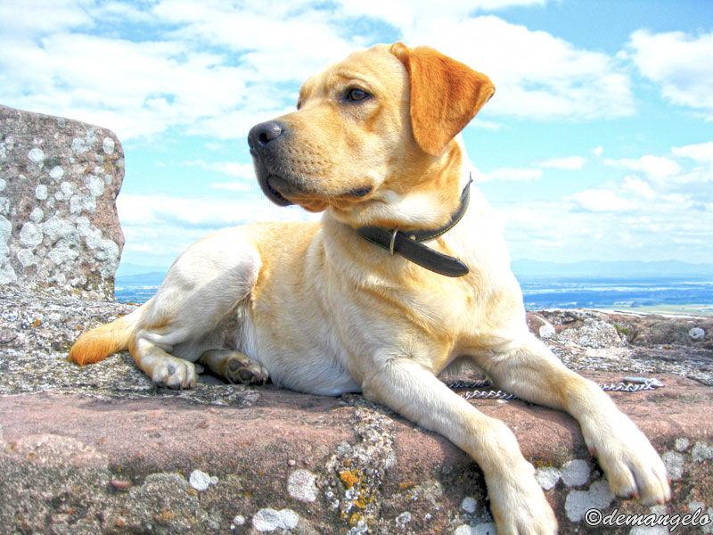 Sisko (ma crème de Labrador)