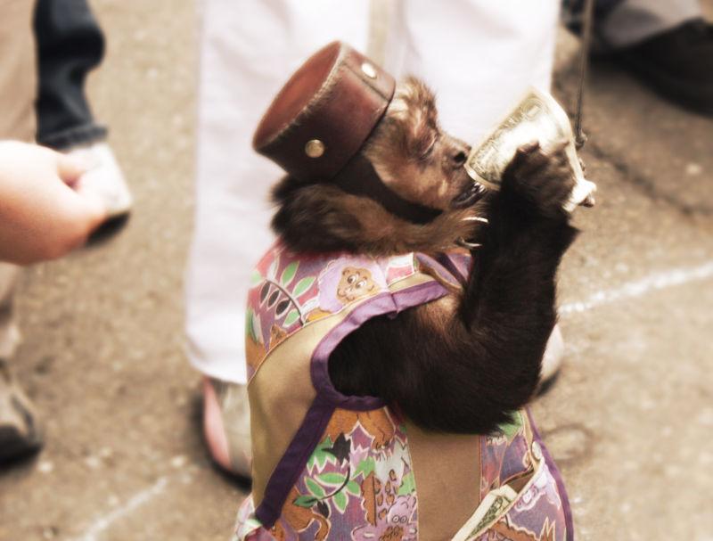 Monkey wearing a little hat takes money