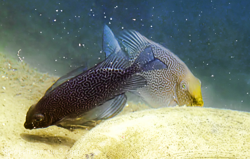"Underwater Life - 4/5 ""Rabbitfish"""
