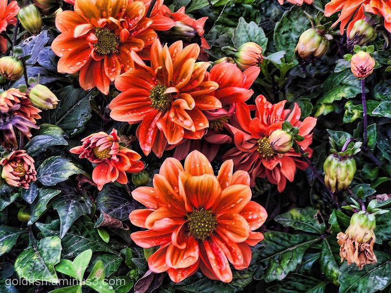 "Jardin des Plantes - 5/6 ""Dahlia"""