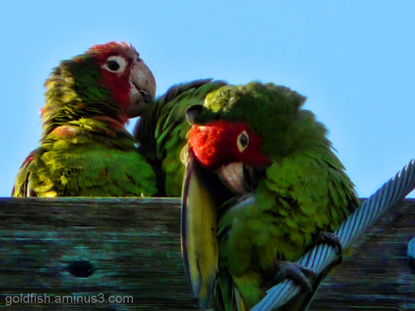 Little Wing 1/7 - Wild Parrots of Telegraph Hill