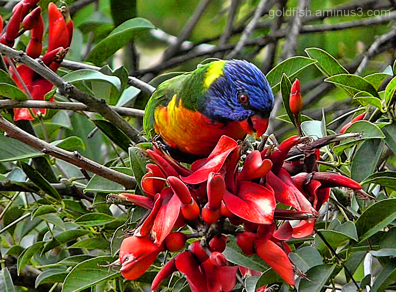 Little Wing 2/7 - Rainbow Lorikeet