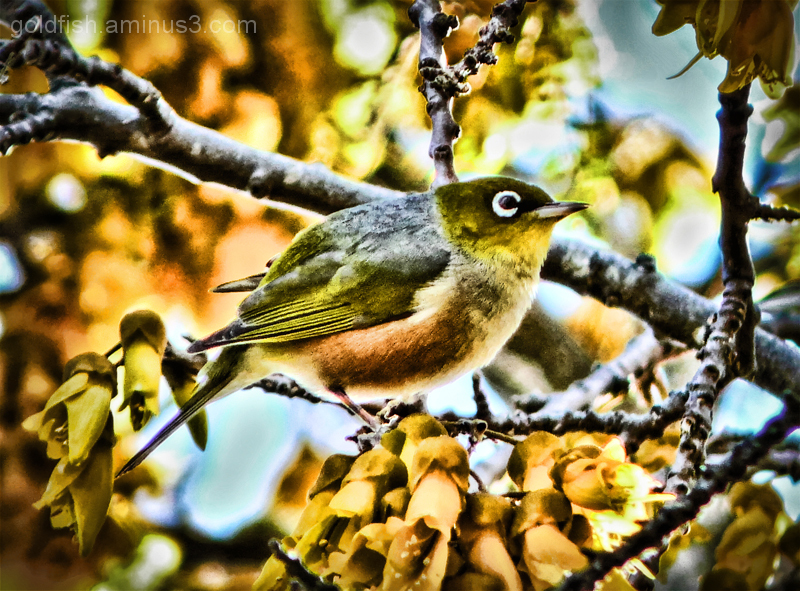 Little Wing 5/7 - Tauhou (The Silvereye)