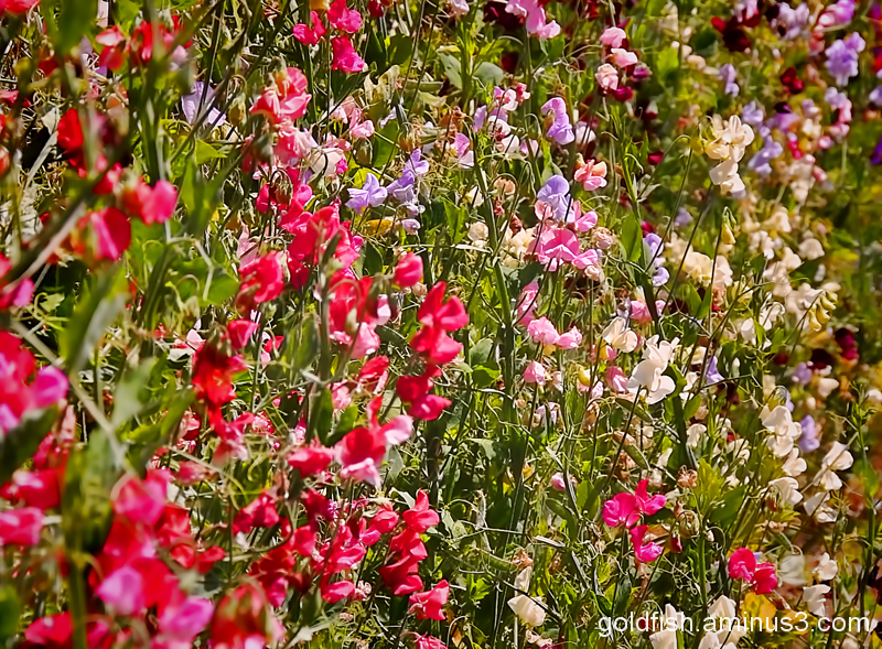 Lathyrus Odoratus - Sweet Pea