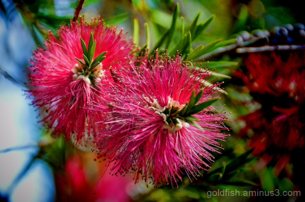 Callistemon Citrinus - Crimson Bottlebrush
