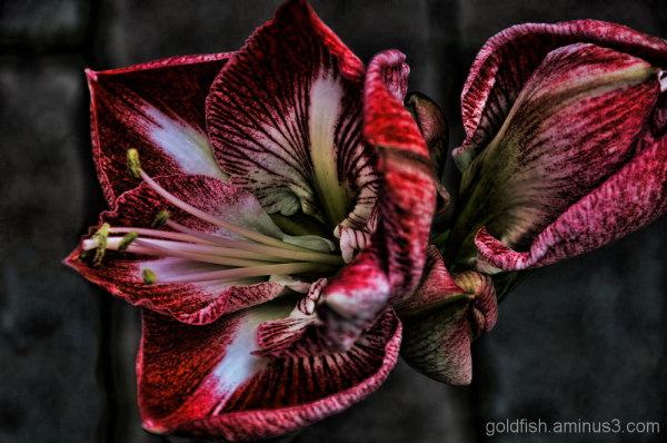 The Curse Of The Amaryllis