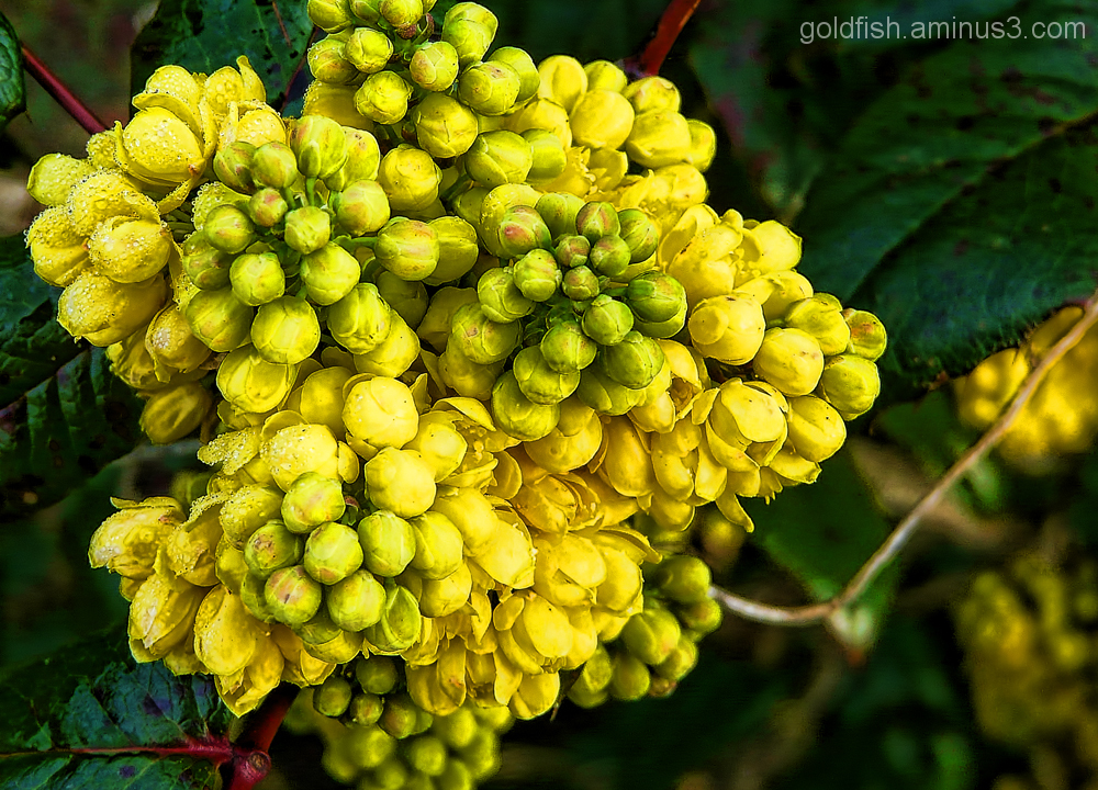 Mahonia Aquifolium (Oregon-Grape)