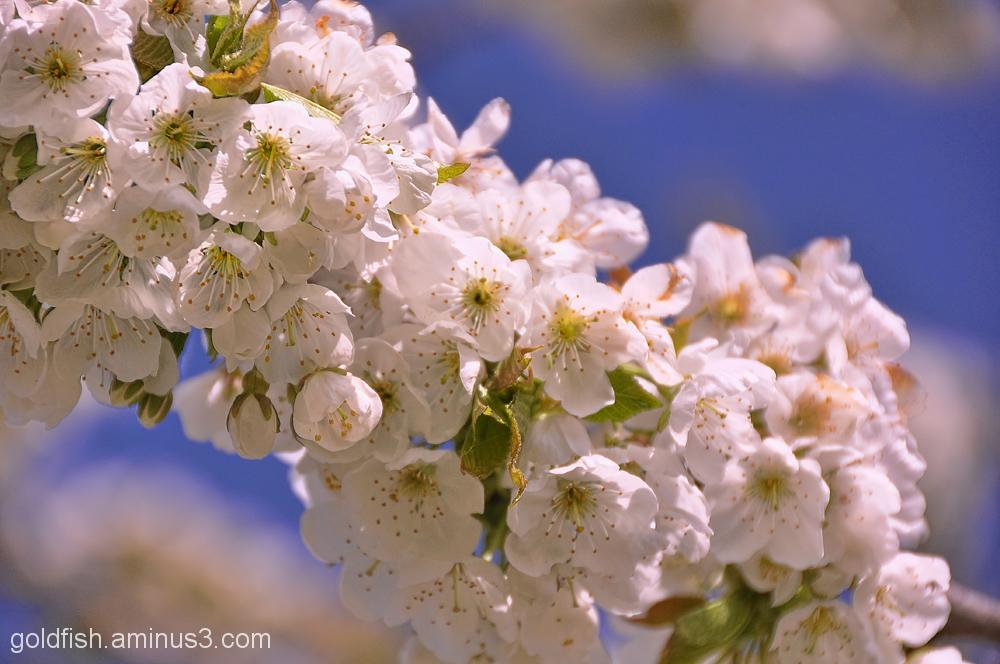 Cherry Blossom 2/2