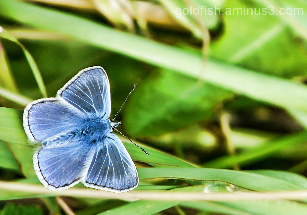 Common Blue - Polyommatus Icarus (male)