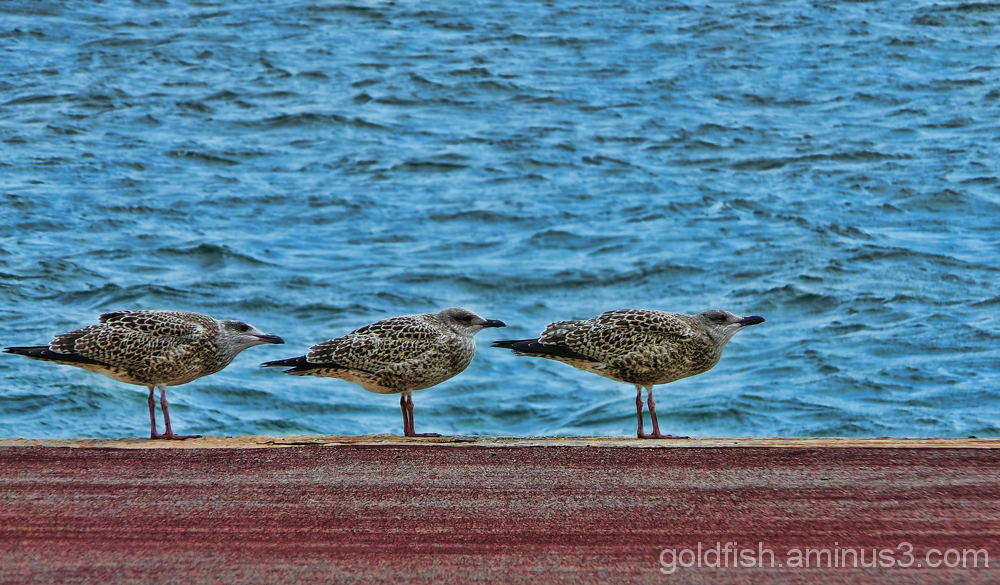 Herring Gull - 1st Winter Juveniles