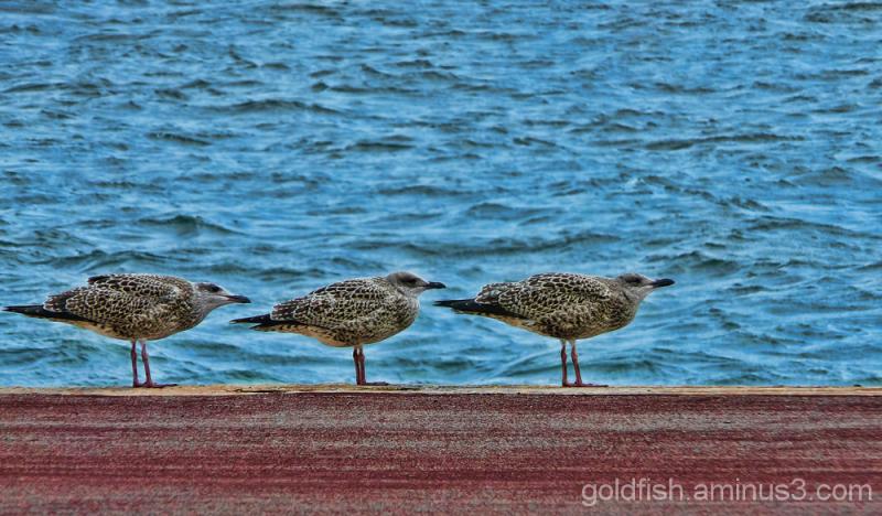 Herring Gull - 1st Winter Juveniles