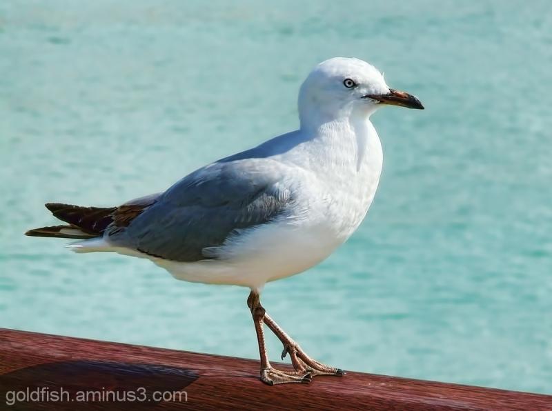 Black-billed Gull (Chroicocephalus Bulleri)