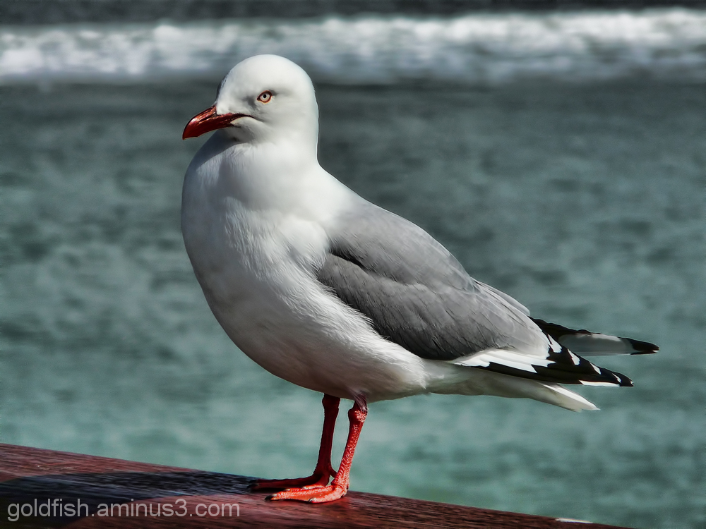 Red Billed Gull (Chroicocephalus Scopulinus)