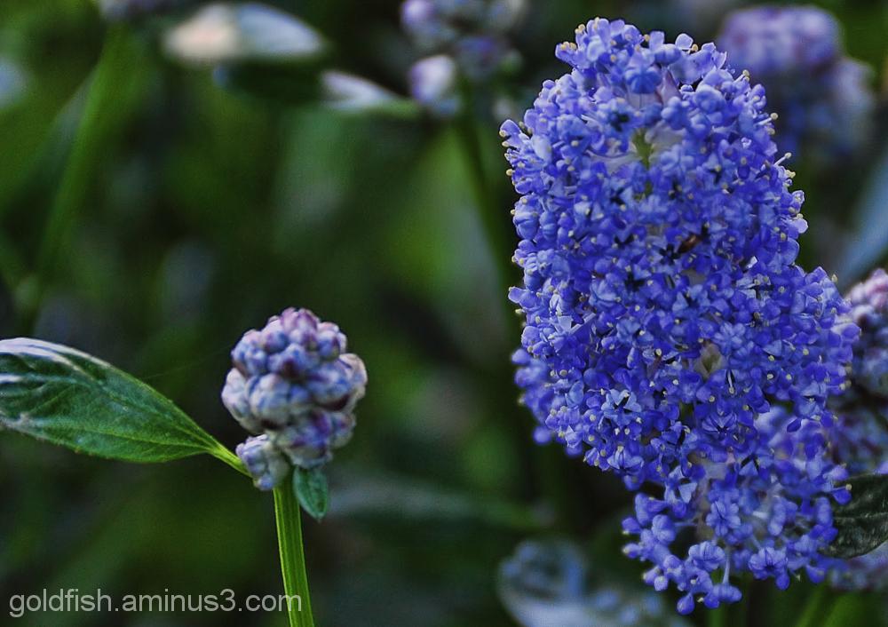 Ceanothus - Californian Lilac
