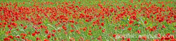 Poppy Field 1/5