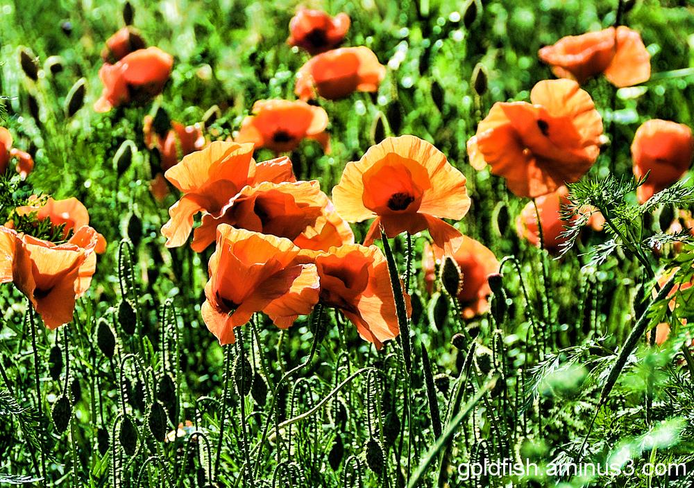 Poppy Field 2/5