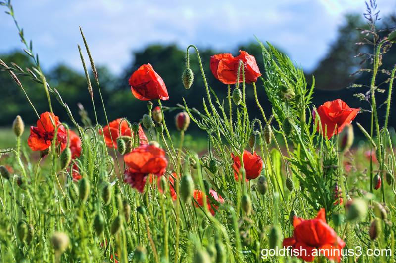 Poppy Field 5/5