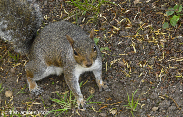 Grey Squirrel (Sciurus Carolinensis) - 1/3