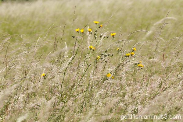 Crepis - Hawksbeard