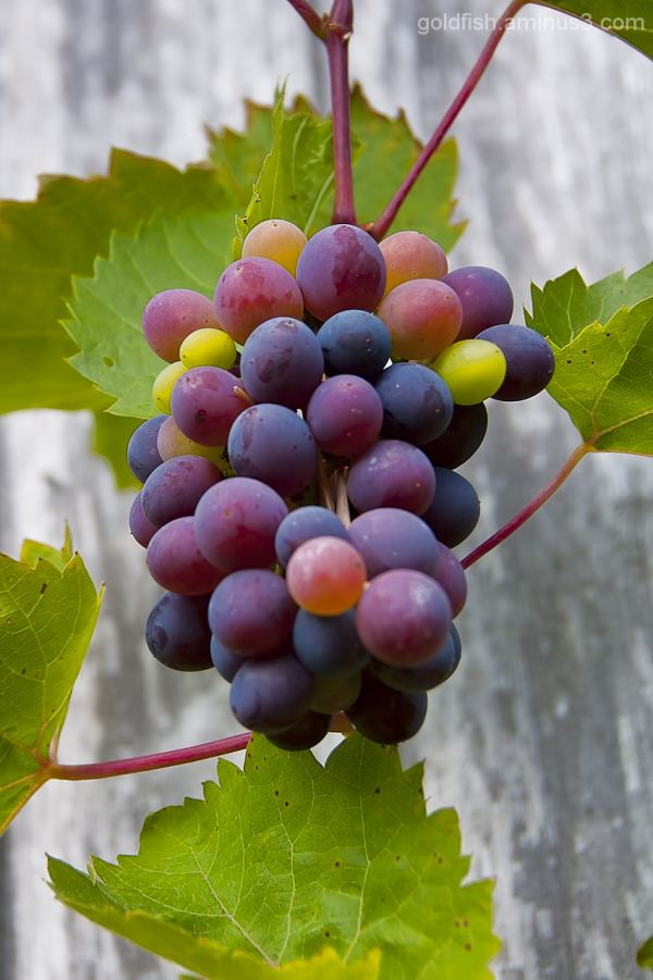 Grape Vine - Vitis Vinifera 2/4