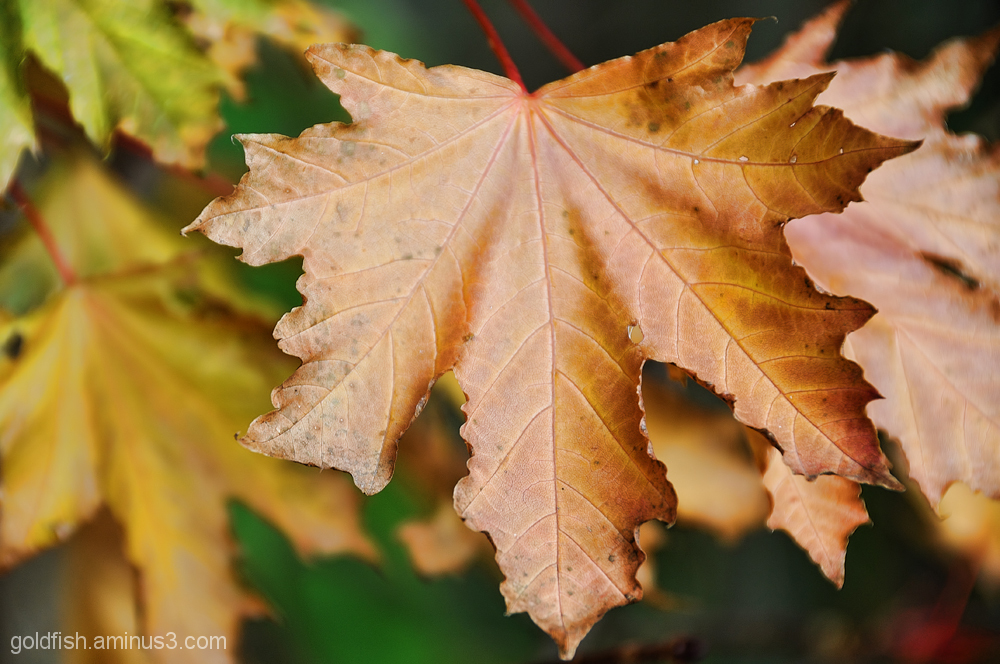 Autumnal Views 2/7 - Maple