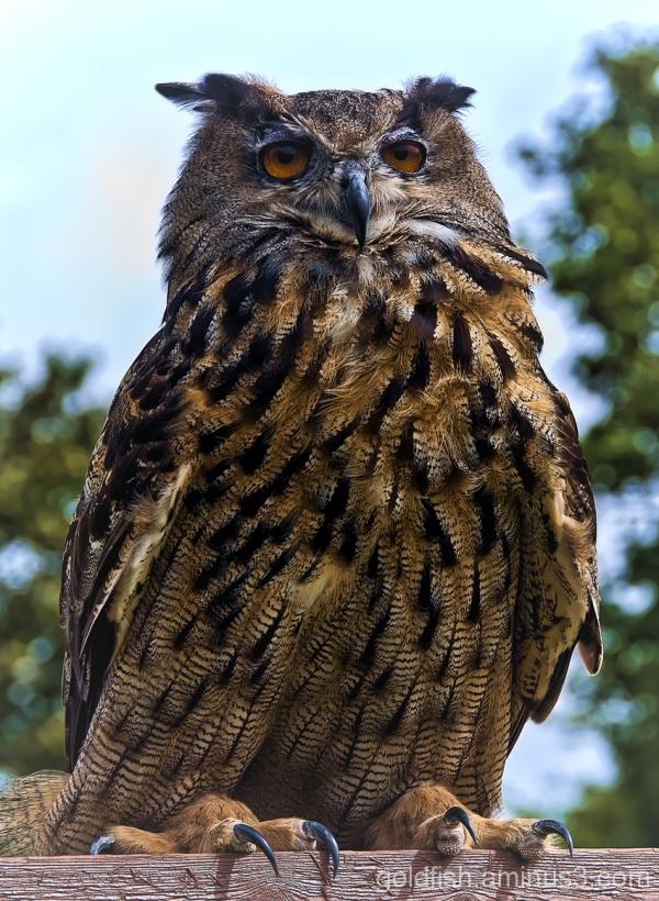 Eurasion Eagle Owl - Bubo Bubo 1/5