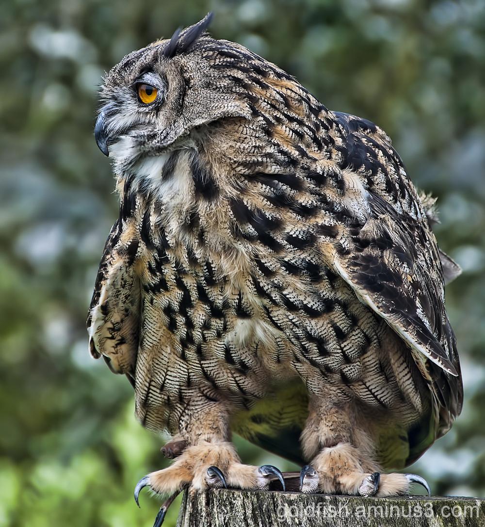Eurasion Eagle Owl - Bubo Bubo 2/5