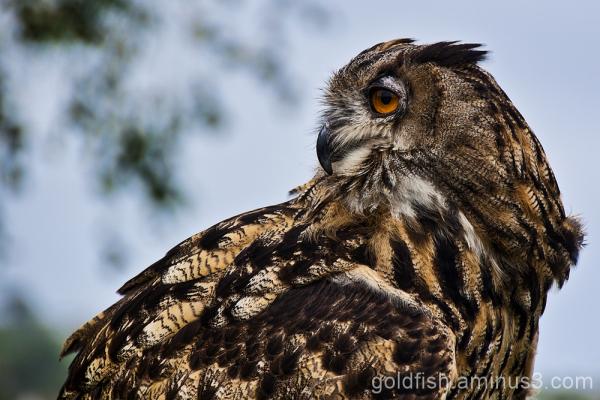 Eurasion Eagle Owl - Bubo Bubo 3/5