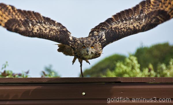Eurasion Eagle Owl - Bubo Bubo 4/5