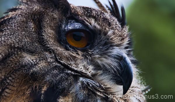 Eurasion Eagle Owl - Bubo Bubo 5/5